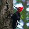 Magelanic woodpecker