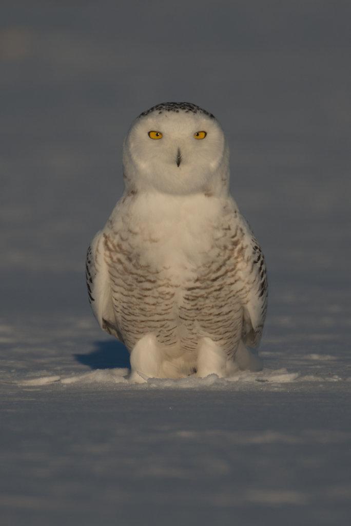 Sneeuwuil